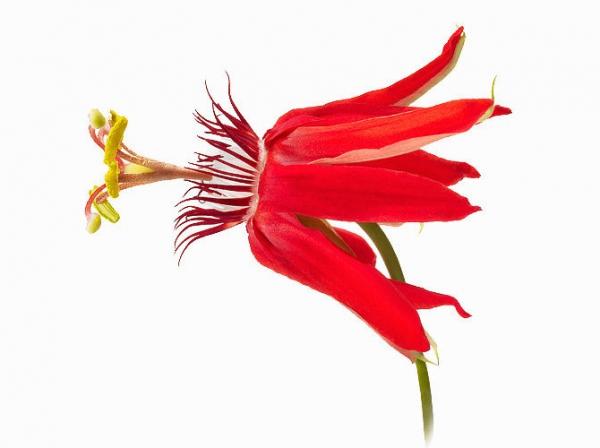 1-KiyoshiTogashi-PassifloraMinata-copy